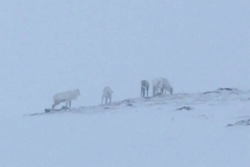 Reinsdyr i Oppdal skisenter