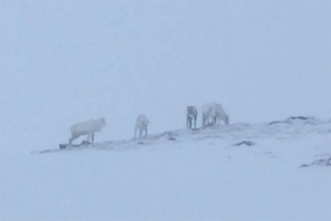 Her står reinsdyrflokken midt i skisenteret i vinterferien