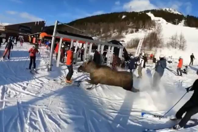 Plutselig dukker elgen opp midt i skibakken