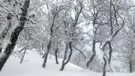 KALD LYKKE: Slik skal bjørkeskogen se ut i januar. Foto: Erlend Sande