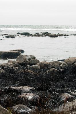 OLJESØL: Strandsonen ved Saltstein er tilgriset av olje. Foto: Peter Gløersen