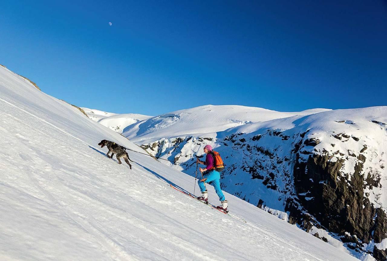 Når man er den glade eier av en vorsteh kan man legge sporet litt brattere enn alle andre. Ida Sollie og hunden Haldor er på vei opp Hallbrekkkvæven på Storeknuten (1055 moh) Foto: Lars Storheim.