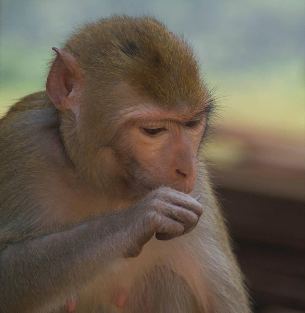 FORSYNT: En lokal ape takker nei til banan. Foto: Øyvind Sveen