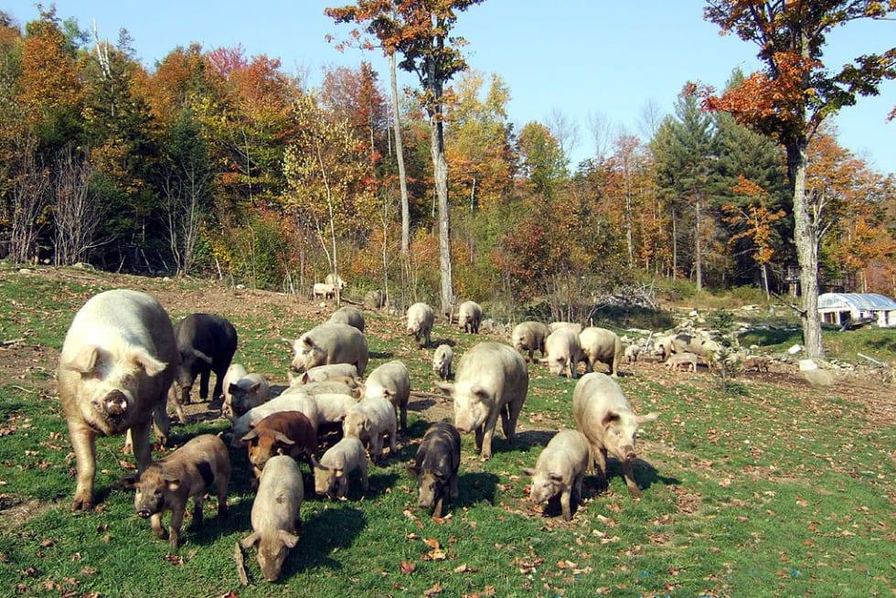 SugarMtnFarm Pigs In Pasture - Walter Jeffries