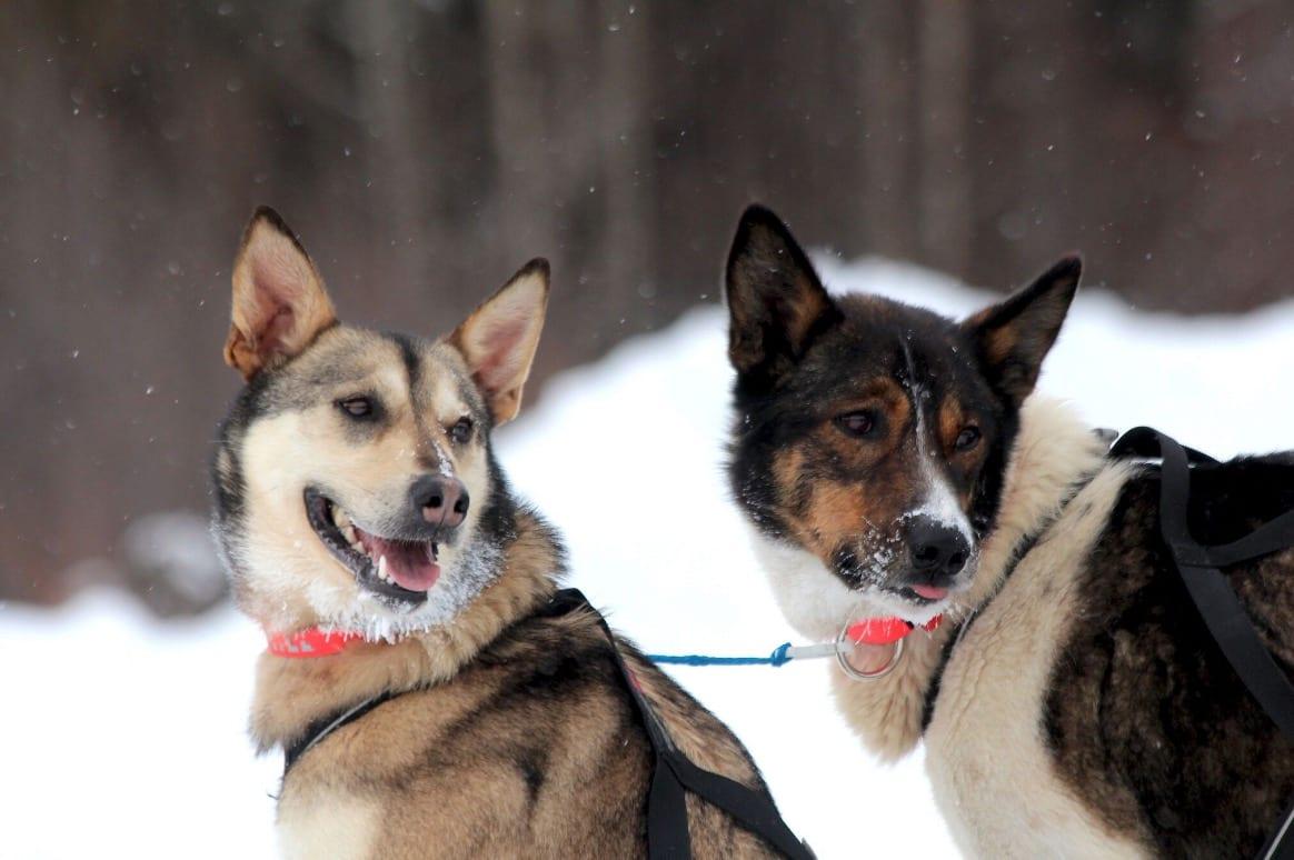 SAMARBEID: Russern og Olive, de to lederhundene som tok Ulsom til mål. Foto: Mille Porsild