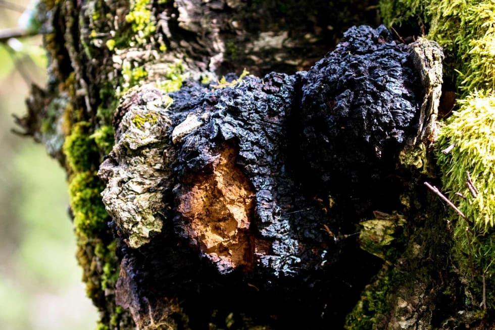 MOTSTANDSDYKTIG: Chaga er ein knudrete sopp som veks på bjørk, og den er den kraftigaste, naturlige antioksidanten vi kjenner. Ein reknar med at funksjonen til sopppen er å dekke over ein skade på treet. Chaga finst over heile landet. Foto: Sigrid Henjum