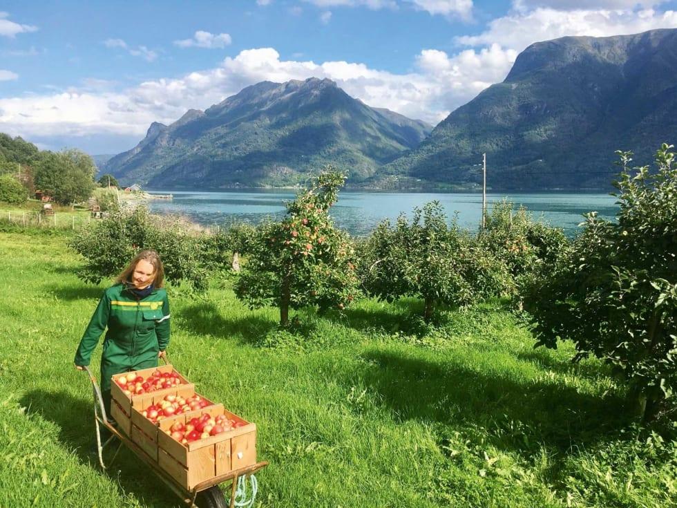 EPLEBONDE: Sigri og mannen Steinar er eplebønder på deltid og kvar haust plukkar dei eple som blir til eplemost. Foto: Privat