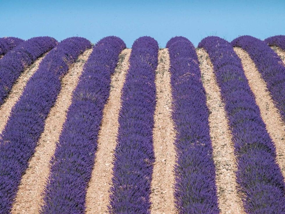 «LAVANDE»: Lavendel har et mangfoldig bruksområde. Ikke bare produseres såpe og parfyme med lavendelolje, men lavendel brukes også i maten som krydder. Fransk-mennene lager faktisk deilig kake av lavendel.