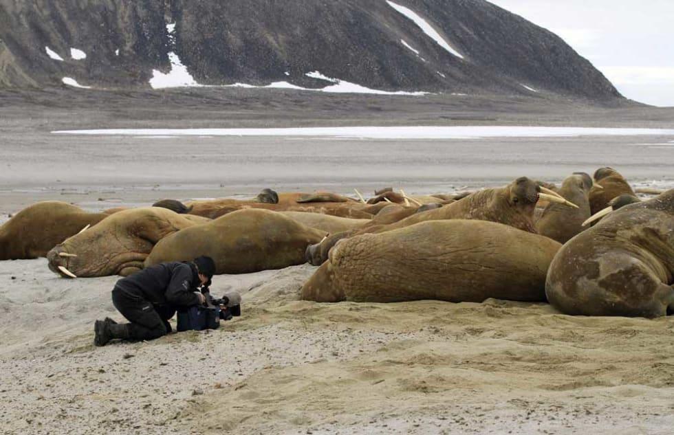 Nærhet: Opptakene til serien har ikke foregått uten dramatikk, men aldri provosert frem fra dyrenes side. - Havet er det farligste, sier Arne Nævra. Her fra Svalbard. Foto: Naturbilder.no