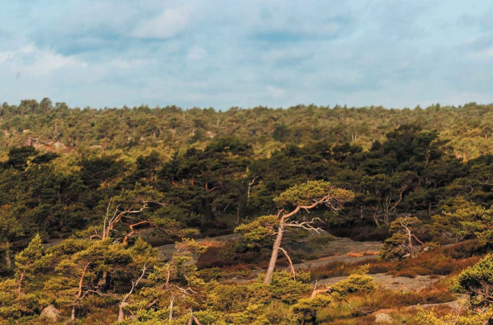 HARDT LIV: Trærne ytterst på Stabbestad har føyd seg etter vindens retning i mange år.