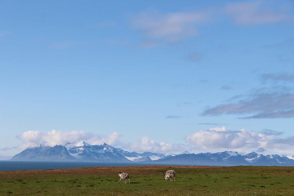 VI: Reinsdyrene ved Cole Bay var like nysgjerrige på oss som vi var på dem.