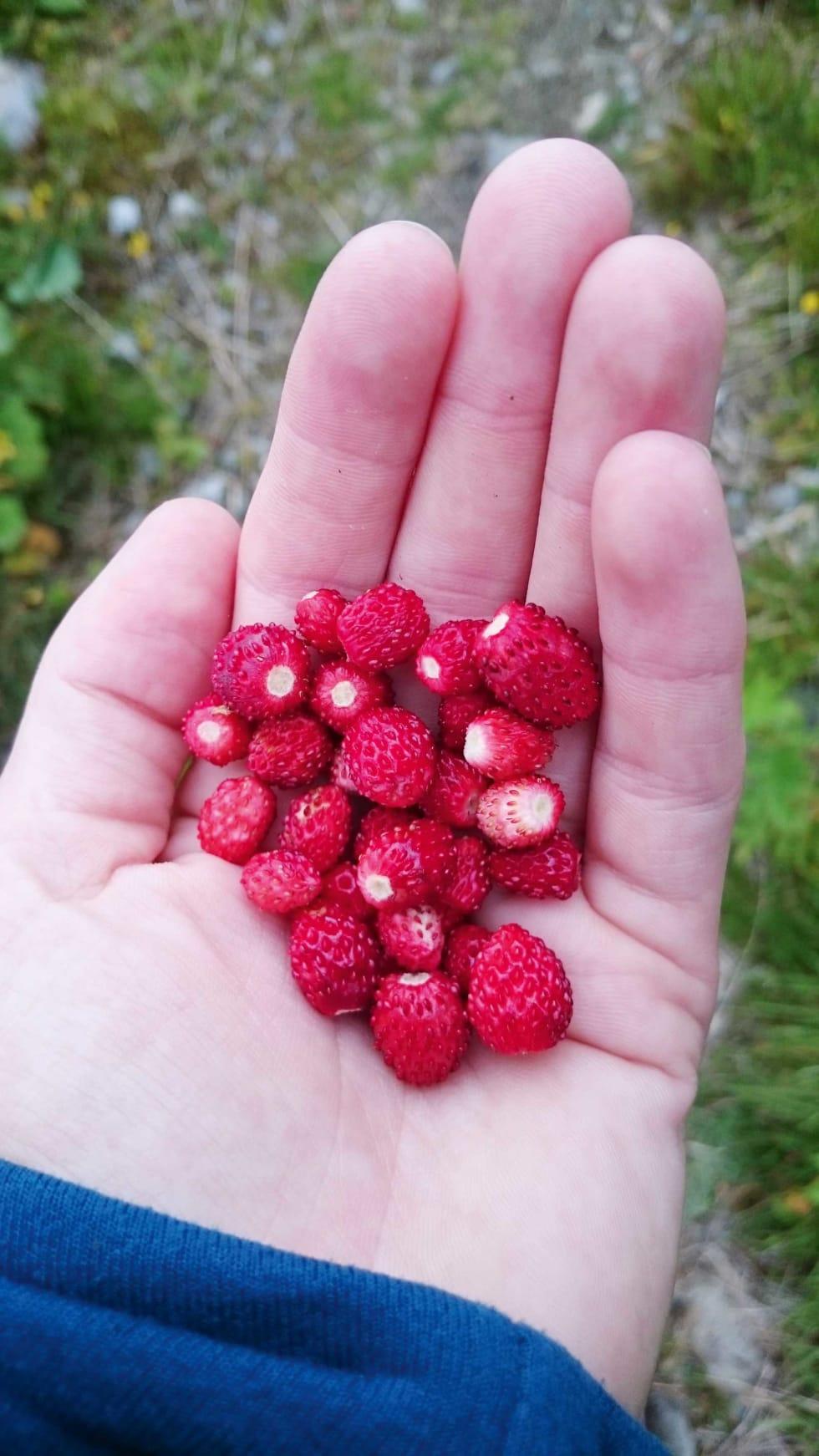 SESONGENS RÅVARER: Alle burde ha et markjordbærsted. Finn ditt.
