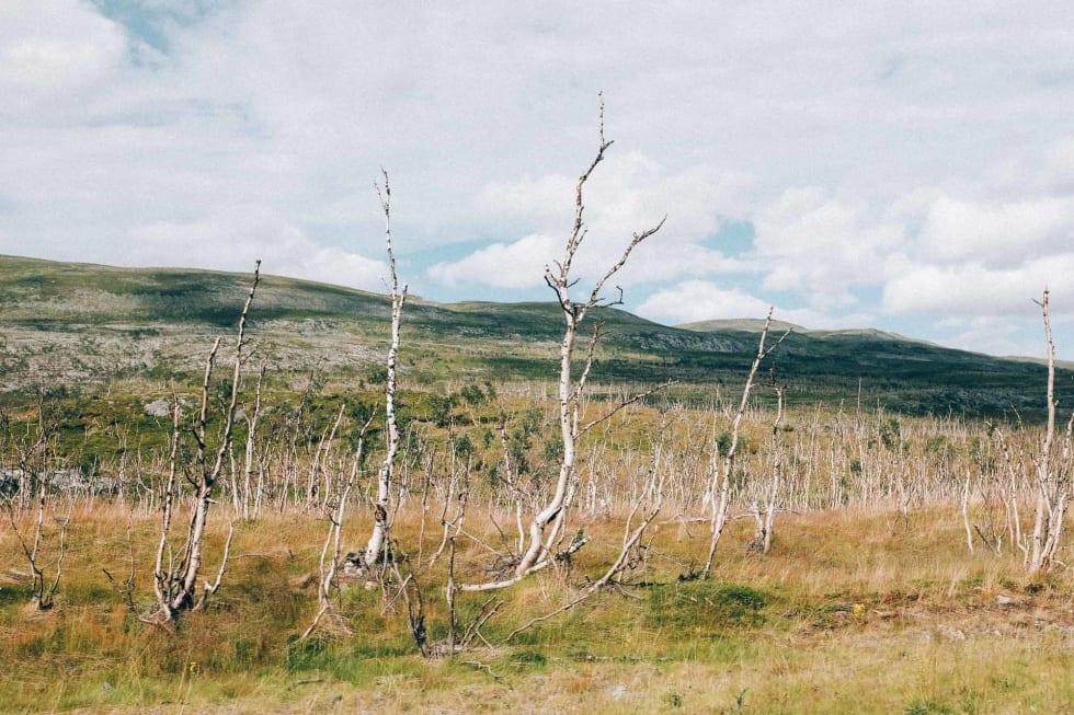 KIRKEGÅRD: Lauvmakken har gått hardt til verks på bjørketrærne på vei til Lakselv.
