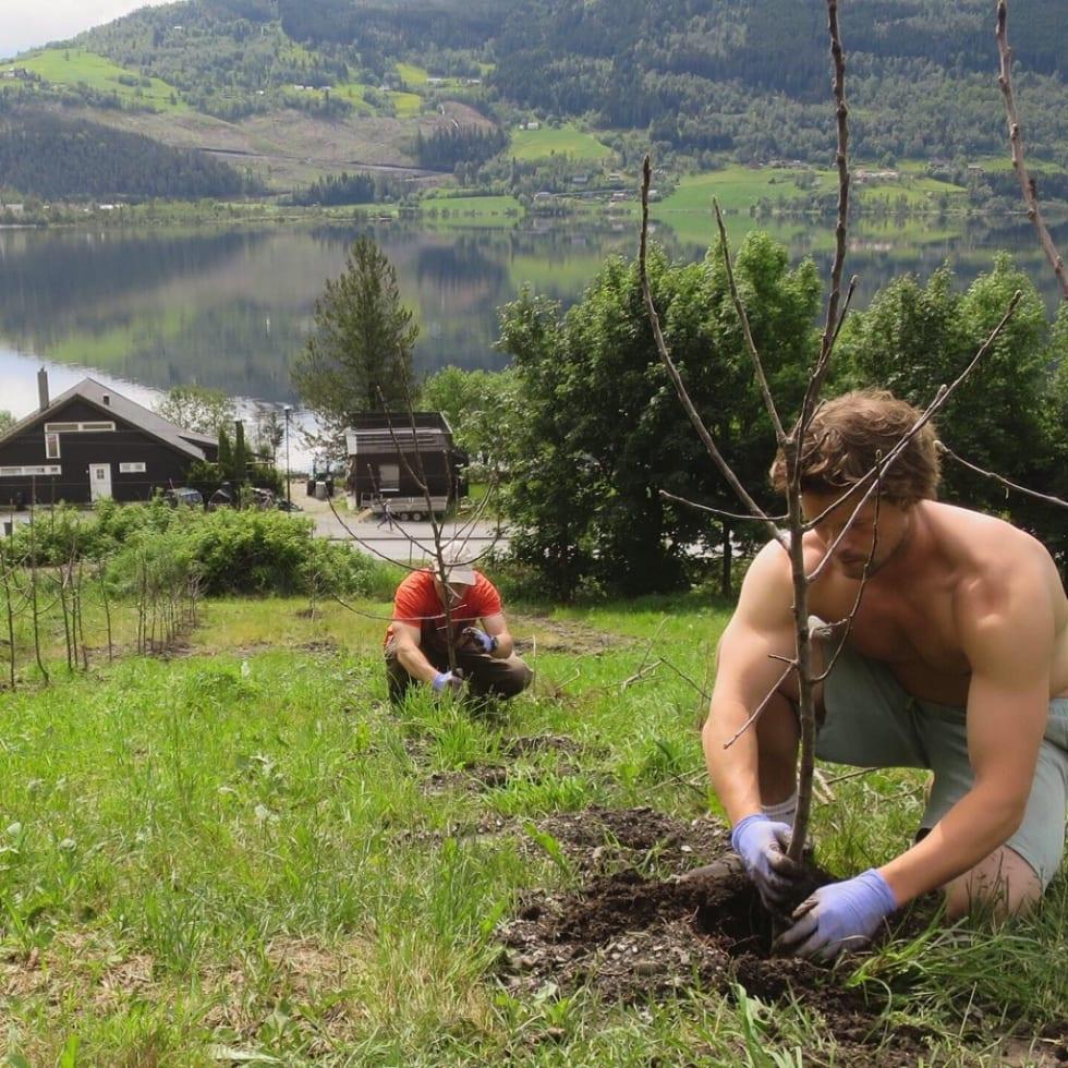 I JORDA: Planting av epletrær pågår.