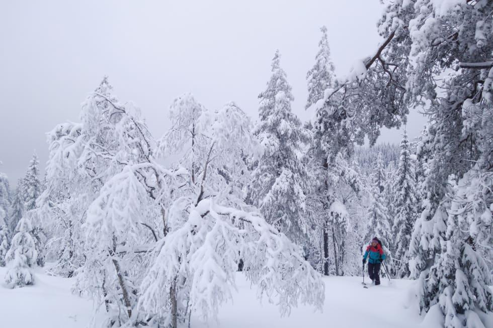 UTENFOR LØYPA: Gunhild Aaslie Soldal baner vei mellom bjørkeleggene. Foto: Erlend Sande