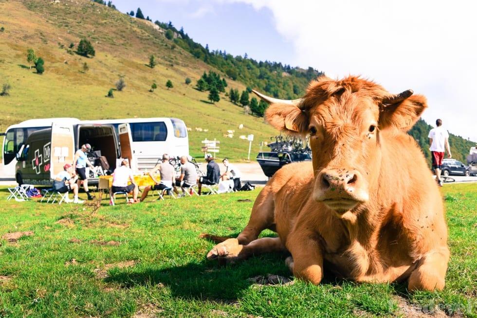 FAST FØLGE: Hva er vel en etappetur uten lunsj i det fri der en ku forstyrrer?