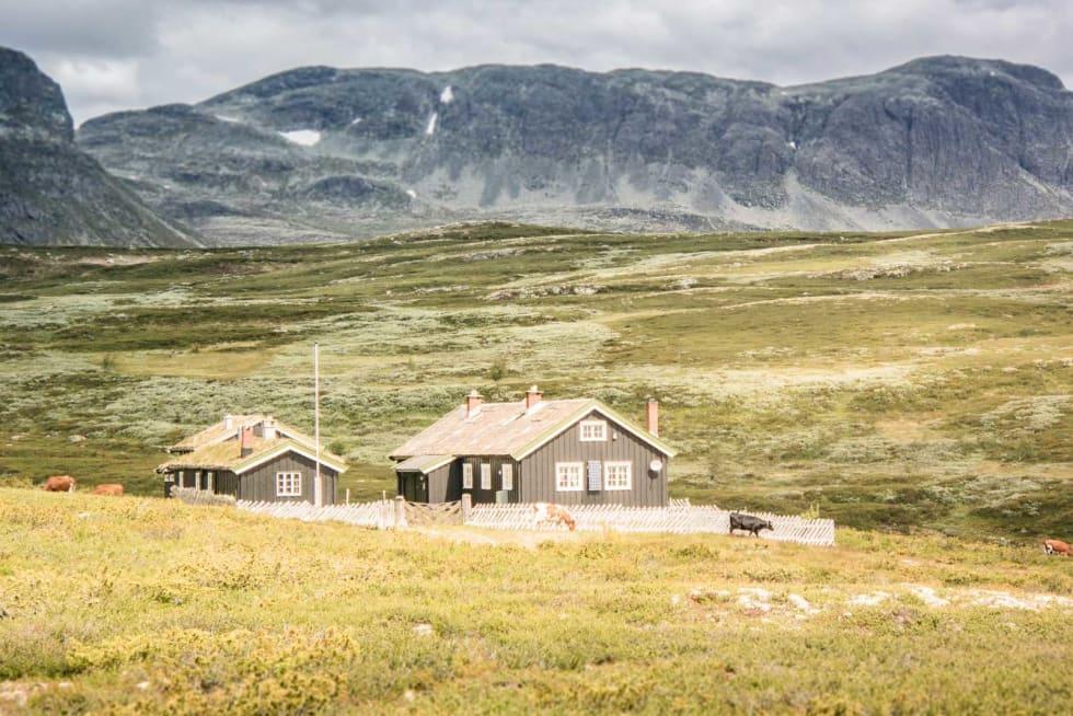Et krøtterliv: Buskap på beite ser du overalt på vei over fjellet.