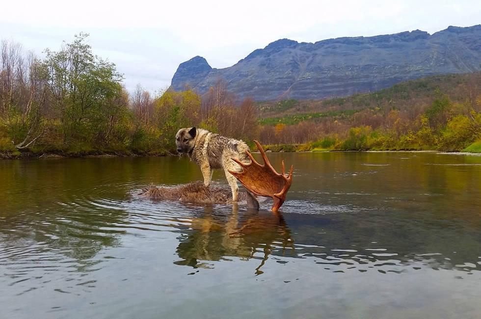 elgjakt grå elghund på elgokse i vannet