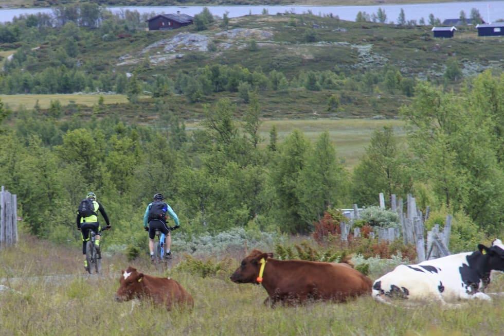Mye av løypa går gjennom aktivt drevet stølslandskap. Foto: Arrangøren