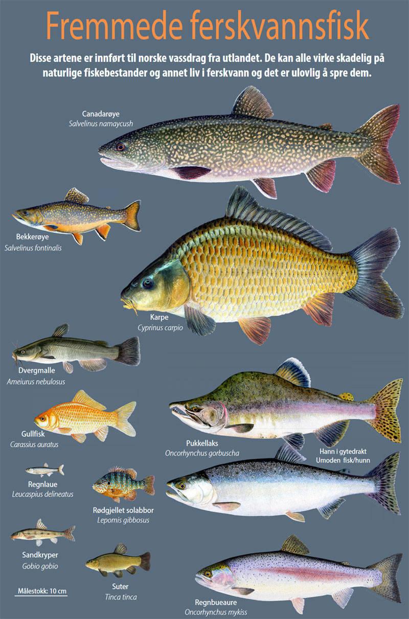 NINA Fremmedfisk