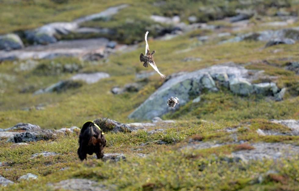 Fuglehund-Jakthunddressur-6