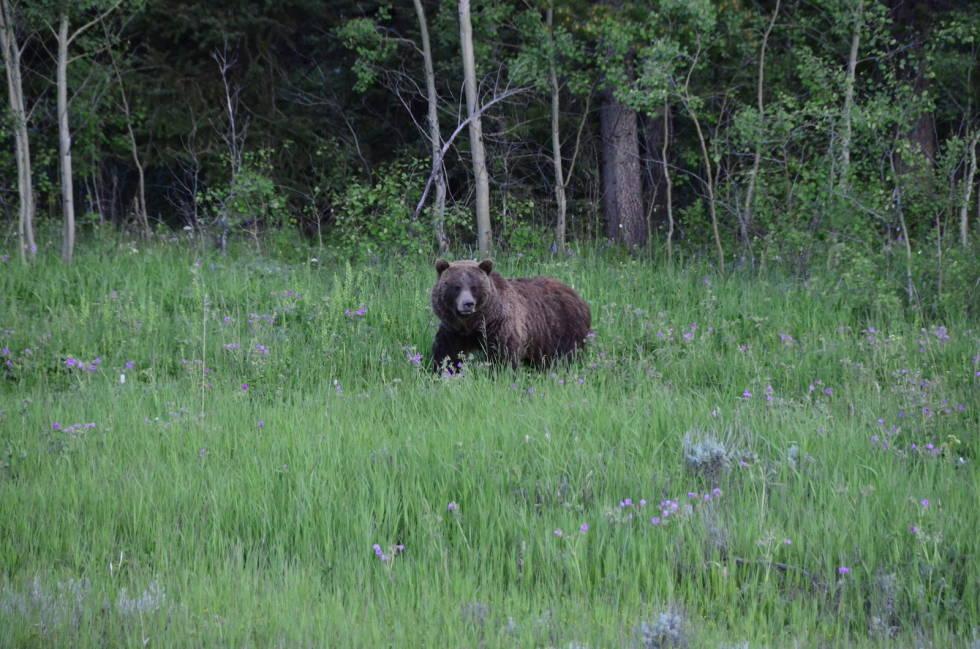 grizzly-bjørn