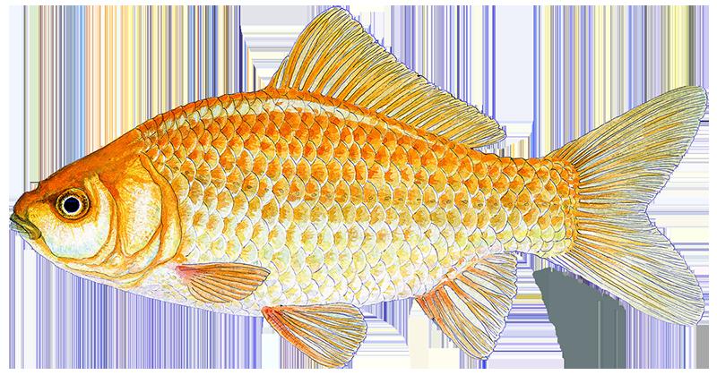 Gullfisk fremmed fisk