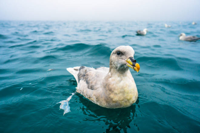 TETT PÅ: Nærgående havhest. Foto: August Gautun