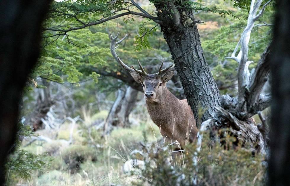 Hjortejakt-i-Argentina-Patagonia-2