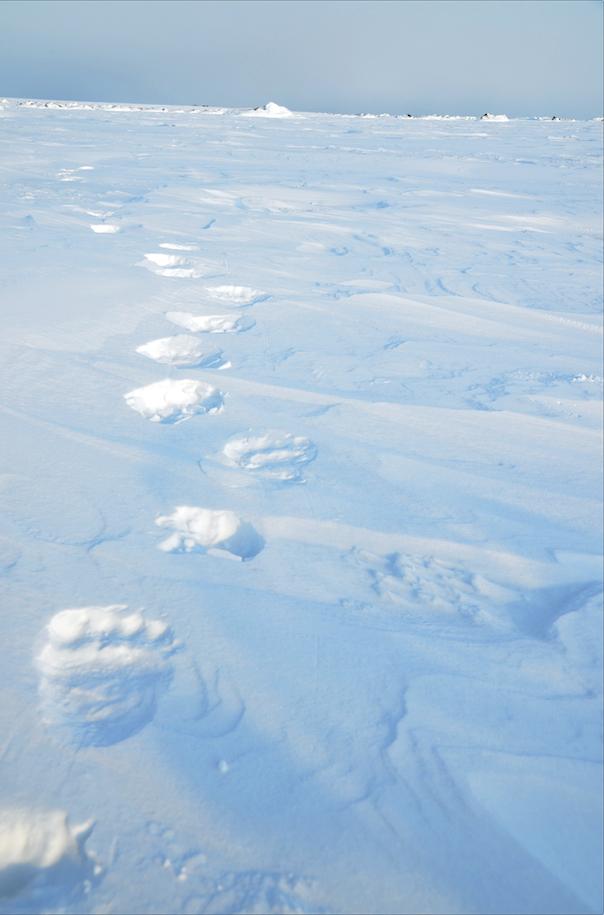 isbjørnspor