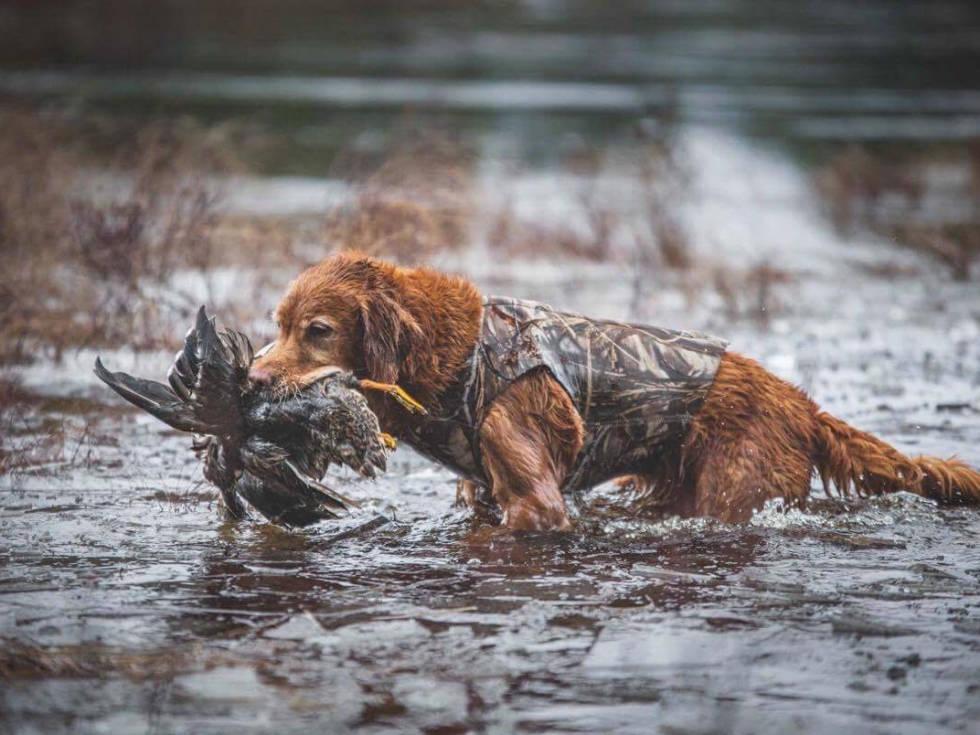 golden retriever til bruk på jakt. Foto: stineogjarlen