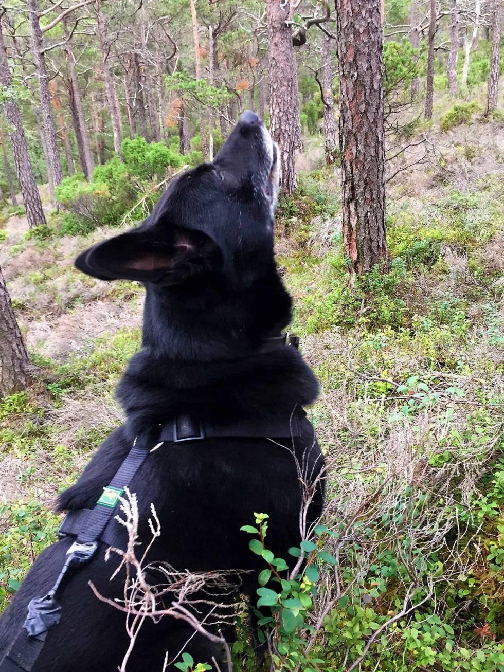 Jakt-med-bandhund-2