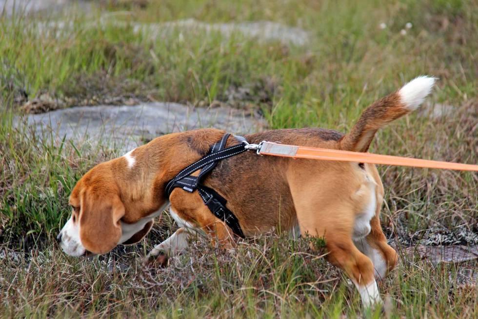 Jakthund-Forberedelse-til-sporkurs-4
