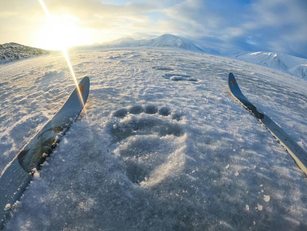 svalbard isbjørnspor