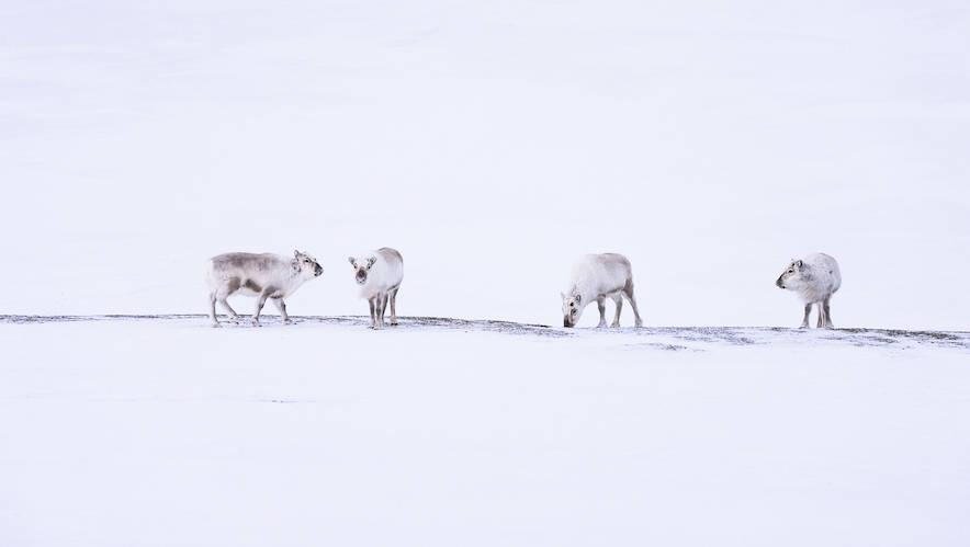 reinsdyr på svalbard