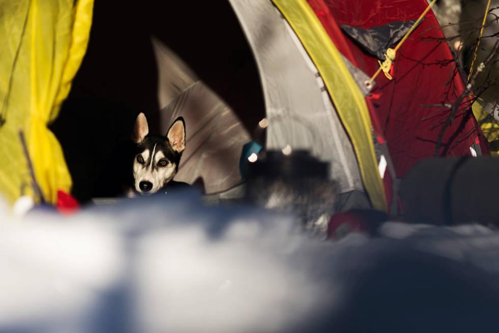 FINT LIV: Fenris, eller «plysj-prinsen» liker seg best i teltet.