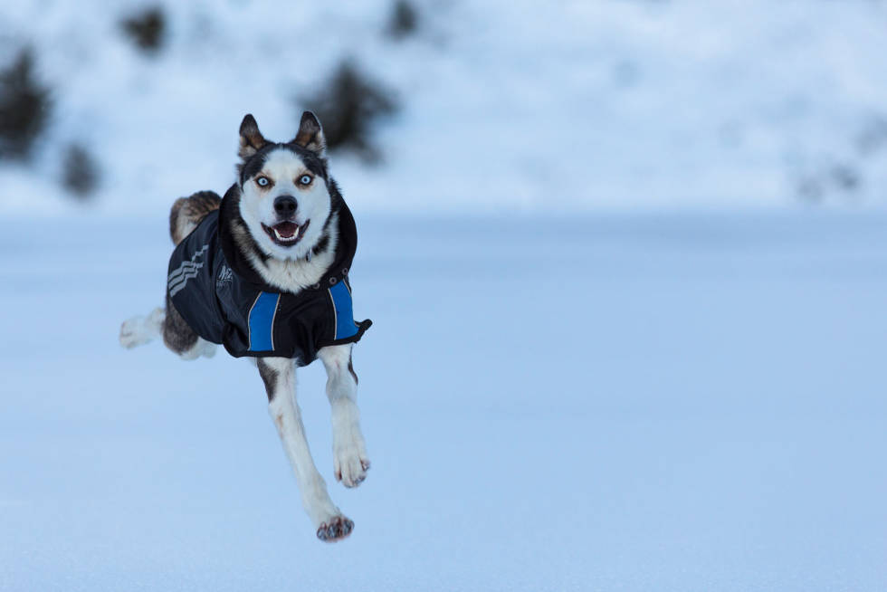 ENTUSIASME: Lyn er hoppende glad for å kunne løpe fritt etter en dagsmarsj opp på fjellet.