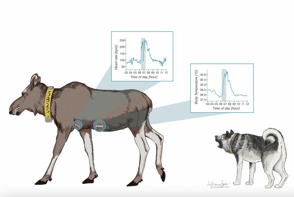 Vitenskapelig illustrasjon av forskning på elg. Illustrasjon: Juliana Spahr/Høgskolen i Innlandet