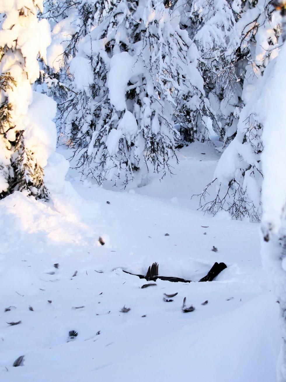 Skogsfugljakt-Tiur-Sverige-5
