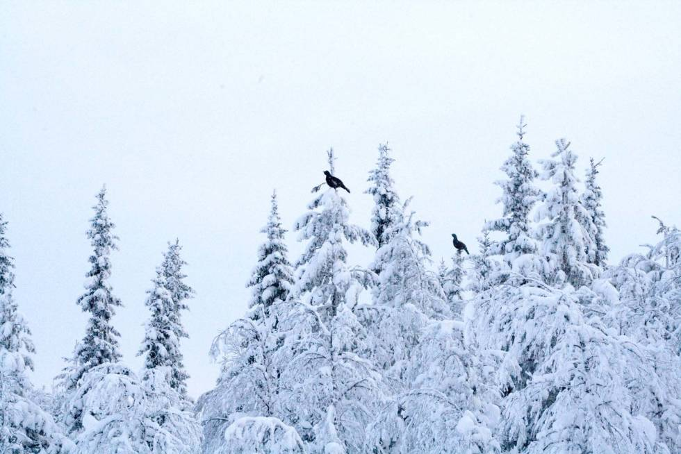 Skogsfugljakt-Tiur-Sverige-7