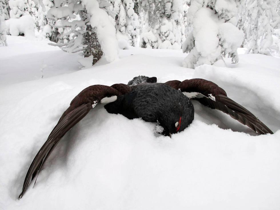Skogsfugljakt-Tiur-Sverige-9
