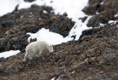 Snøgeit-jakt-i-Canada-fakta