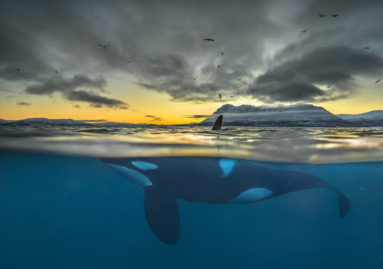 VERDENSKJENTE MOTIVER: Audun Rikardsen er særlig kjent for sine undervannsfotografier, her av en spekkhogger. Foto: Audun Rikardsen