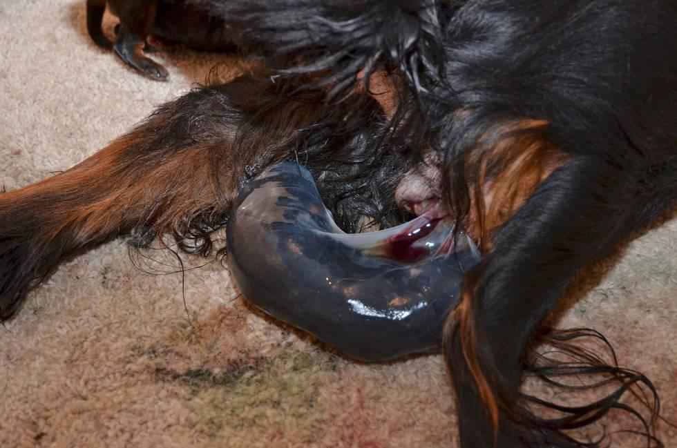 Valpeskolen-fødsel-jegerhund-4
