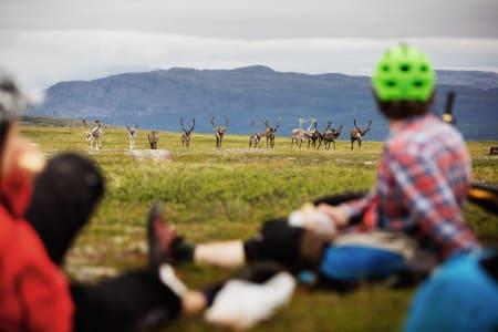 KLISJE VED FØRSTE BLIKK: Det tok ikke lang tid før reinsdyrene dukket opp da Terrengsykkel tok turen til Finnmark.